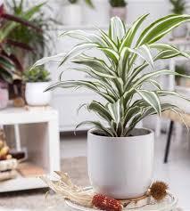 dracaena fragrans white stripe drachenbaum der holländer