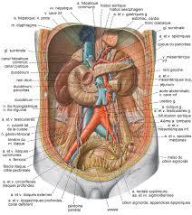 interieur corps humain femme le rein le système urinaire