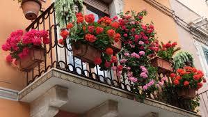 geranien auf dem balkon pflanzen pflegen überwintern