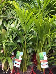 golden palm in pots the best plants to keep your patio great aussie patios