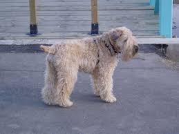 100 do wheaten terrier dogs shed 100 do irish wheaten