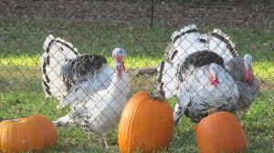 Toms Pumpkin Farm by Other Animals Liberty Homestead Farm