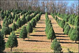 Christmas Tree Seedlings by Growing Christmas Joy From The Ground Up Ozarks Alive
