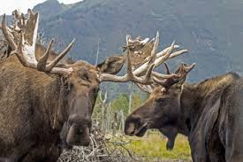 Moose Shedding Their Antlers by Search Photos Stringy