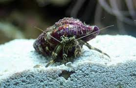 Halloween Hermit Crab by Reef Friendly Crabs Reefland Com