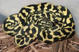 Coastal Carpet Python Facts by Jungle Jaguar Carpet Python Carpet Vidalondon