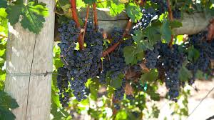Grape Ideas For Kitchen by It U0027s Not Too Late To Plant Grapes Organic Gardening Blog