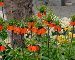 fritillaria imperialis rubra bulbs crown imperial buy