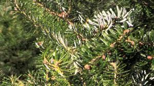 Nordmann Fir Christmas Tree by Christmas Tree Species Korean Fir Youtube