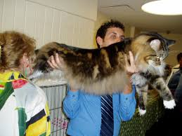 Do Maine Coons Shed In The Summer by Why Do We Have Different Sized Dogs But All The Domestic Cats Are