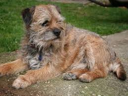 border terrier dogs border terrier dog breed info pictures petmd