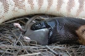 Coastal Carpet Python Facts by Black Headed Python Habitat Diet U0026 Reproduction