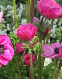 anemone autumn planting miscellaneous bulbs autumn planting