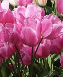 tulip happy family multi flowering tulips tulips flower bulb