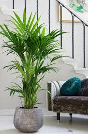 kentia palms kentia palms zimmerpflanzen dekor