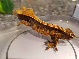 Crested Gecko Shedding Help by Baby Crested Gecko 4 5g Shedding And Eating Well In Burton On