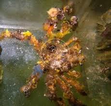 Decorator Crab Tank Mates by 25 Best Tank Remodel Images On Aquarium Ideas