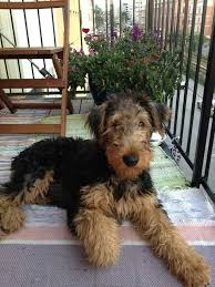 Airedale Terrier Non Shedding by 2041 Best Terriers Images On Pinterest Airedale Terrier