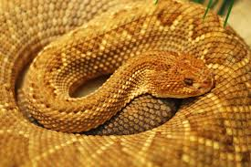 Corn Snake Shedding Too Often by Infection In Snakes Symptoms Causes Diagnosis Treatment