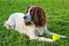 Welsh Springer Spaniel Shedding by Sprocker Dog Breed Information Buying Advice Photos And Facts