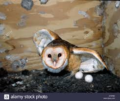 NA, USA, Florida. Barn Owl Adult In Nest Box Protecting Eggs Stock ... Common Barnowl Tyto Alba Two Juvenile Common Barn Owls At The Pramo Clothing Owling In Owls Glenn County Resource Cservation District Barn Owl Nest Box Nhbs Wildlife Shop Gardening For Birds All About Nesting Logs And Boxes Hecker Nursery Triangular Girl Scout Gold Award Benefits Birds Burroughs Audubon Society Boxes Hungry Project Bbook Mount Gravatt Environment Group Wiggly Wigglers Duhallow Raptor Plans Vip