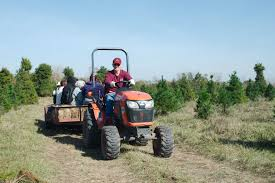 Leyland Cypress Christmas Tree Growers by Manvel Tree Farm Buzzes With Holiday Shoppers Houston Chronicle