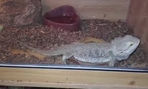 Bearded Heat L Timer by Bearded Reptiles Rehome Buy And Sell In The Uk And