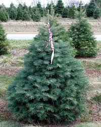 Best Smelling Christmas Tree Types by Choosing The Right Christmas Tree Msu Extension