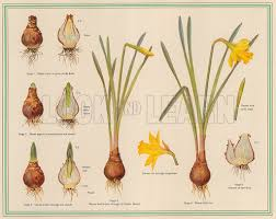 growth of the daffodil from a bulb look and learn history