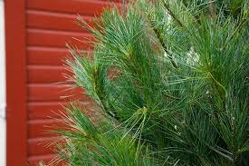 Types Of Christmas Trees To Plant by Real Indiana Christmas Trees Fraser Fir White Pine Scotch Pine