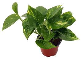 Good Plants For Bathroom by Best Plants For Bathroom Air Purifying And Mood Lifting