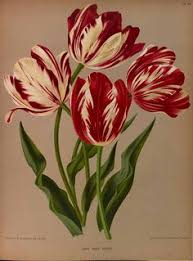 semper augustus the most expensive tulip bulb during the