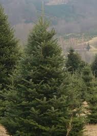 Christmas Trees Types by Selecting The Right Tree Nc State Extension