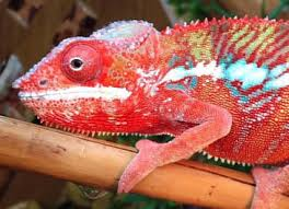 Basking Lamp For Chameleon by Panther Chameleon Care Sheet Reptile Centre