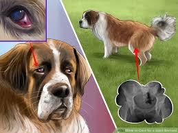 Do Short Haired Saint Bernards Shed by How To Care For A Saint Bernard 15 Steps With Pictures