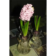 bulb forcing vases for sale terra ceia farms