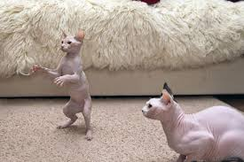 hairless cat price cool pictures hairless cats