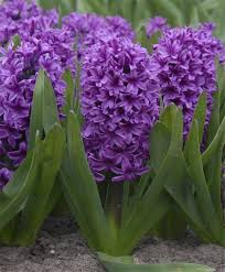 182 best hyacinths images on bulb bulbs and ls