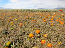 Pumpkin Patch Reno by Pick Your Own Pumpkin Patches In Nevada Funtober
