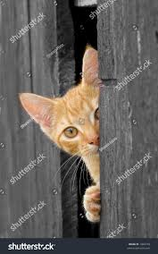 Cat Peeking Barn Door Bw Cat Stock Photo 1843799 - Shutterstock Ferals Strays And Barn Cats Cat Tales Tuesdays Fun And Aww My Moms Is Gorgeous Viralspell The Care Feeding Of Timber Creek Farm Program Buddies Seeking Support For Its Catsaving Efforts Adoption Barn Cats Near Bardstown Ky Petfinder For Green Rodent Control Turn To Barn Cats The Flying Farmers Free Images Wood Old Animal Cute Wall Pet Rural Sitting On Top Of Bales Straw Ready To Pounce Stock Weve Got Hire Central Missouri Humane Society By Jsf1 On Deviantart