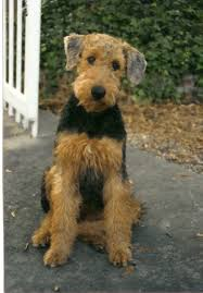 Airedale Terrier Non Shedding by 58 Best Airedale Terrier Images On Pinterest Airedale Terrier
