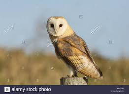 A Hunting Barn Owl (Tyto Alba) Resting On A Post Looking For Prey ... White And Brown Barn Owl Free Image Peakpx Sd Falconry Barn Owl Box Tips Encouraging Owls To Nest Habitat Diet Reproduction Reptile Park Centre Stock Photos Images Alamy Bird Of Prey Tyto Alba Video Footage Videoblocks Barn Owl Tyto A Heart Shaped Face Buff Back Wings Bisham Group Bird Of Prey Clipart Pencil In Color British Struggle Adapt Modern Life Birdguides Beautiful Owls Pulborough Brooks The