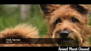 Non Shedding Large Dogs by Dog Breeds 38 Breeds Of Non Shedding Dogs Animal Planet X Channel