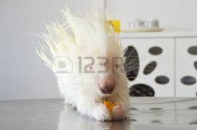 Porcupine Eats Pumpkin by Porcupine Isolated On White Background Stock Photo Picture And
