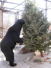 Baltimore County Christmas Tree Collection by Recycling Artificial Christmas Trees Christmas Lights Decoration