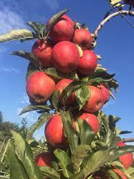 Best Pumpkin Apple Picking Long Island Ny by Apple Picking