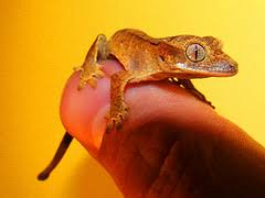Crested Gecko Shed Stuck On Eye by Readers U0027 Questions Answered Mixing Species And Shedding Gecko