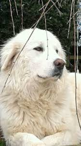Guard Dogs That Dont Shed by 317 Best Great Pyrenees Images On Pinterest Animals Pyrenees