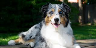 Dog Breeds That Dont Shed by 20 Dogs That Don U0027t Shed Much Hypoallergenic Dog Breeds