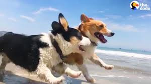 CORGI PARTY Over 1 000 Corgi Dogs Have An Epic Beach Party